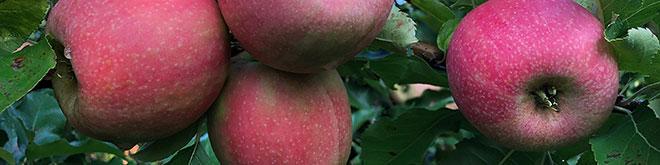 Un corimbo di melo